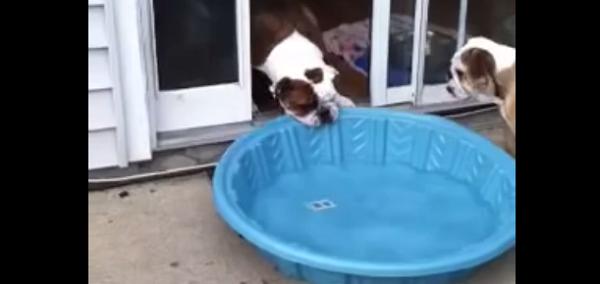 Perro Bulldog inconforme con su piscina