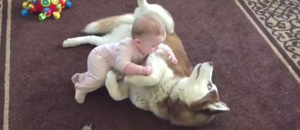 Vídeo de un perro Husky Siberiano jugando con un bebé