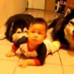 Vídeo de dos Huskys Siberianos imitando a un bebé gateando