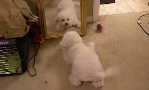 Vídeo de un perro que encuentra compañero de juegos en un espejo