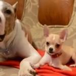 Vídeo de un Pitbull con mucha paciencia y un Chihuahua muy pesado
