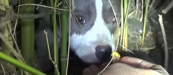 Vídeo de una perra Pitbull rescatada con sorpresa