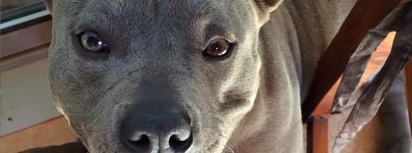 Las tres P: Perros Potencialmente Peligrosos