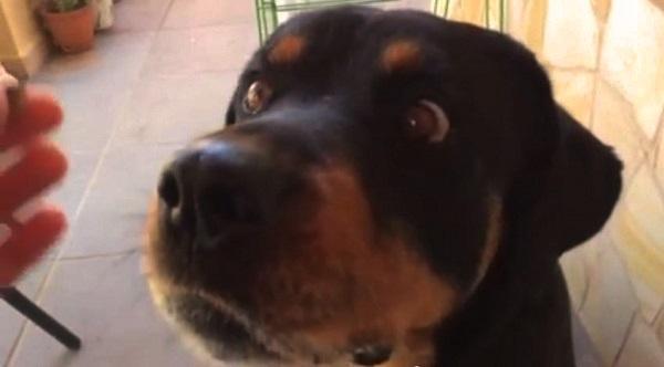 Vídeo de un perro Rottweiler comiendo un pistacho a cámara lenta