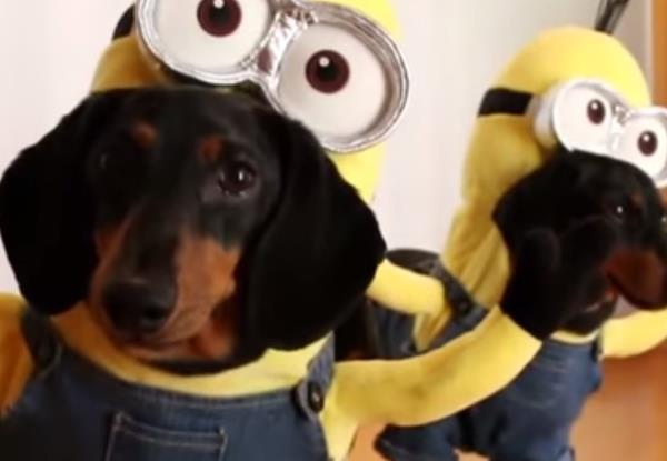 Vídeo Dachshund Minions