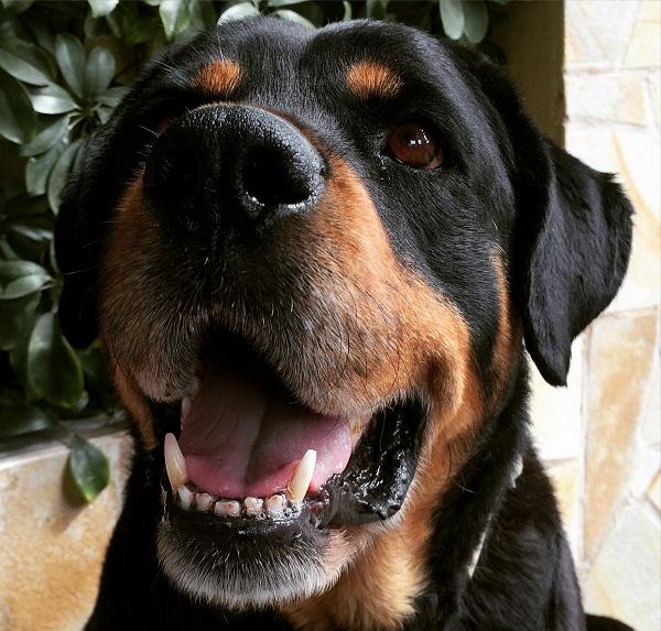 Dalila la Rottweiler