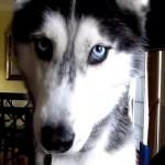 Vídeo de Mishka, la perra Husky que habla