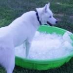 Vídeo de un Husky Siberiano en una piscina de hielo