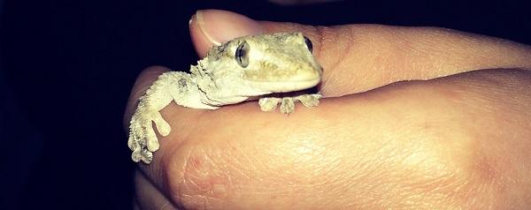 Mariana, el gecko de mi jardín