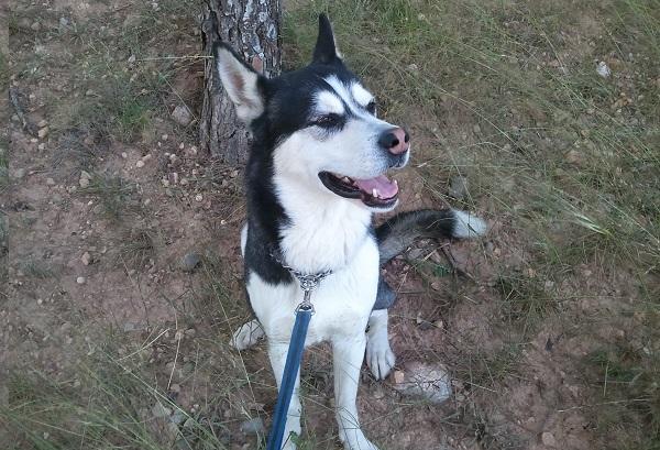 Thor, el perro mestizo de Husky