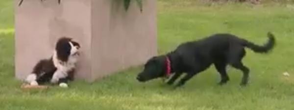 Broma para perros