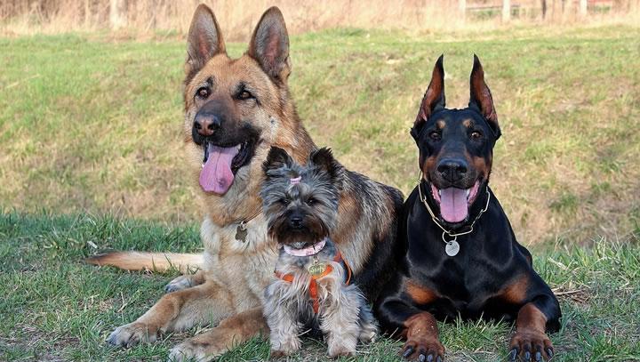 Mitos falsos sobre razas de perros