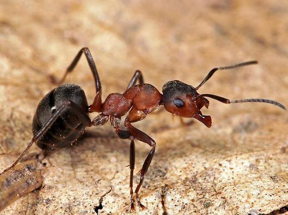 mordeduras de hormigas a perros