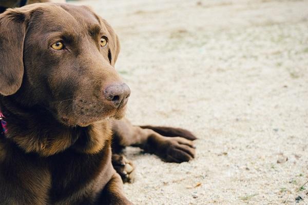 perros que se lamen las patas