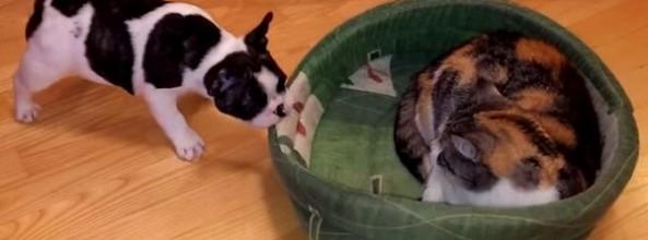 Vídeo de un perro Bulldog Francés que quiere recuperar su cama