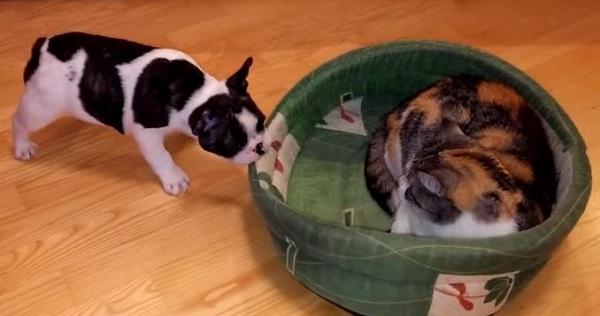 Vídeo de un Bulldog francés que quiere recuperar su cama