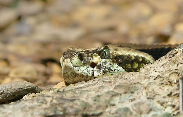 picaduras de serpiente en perros