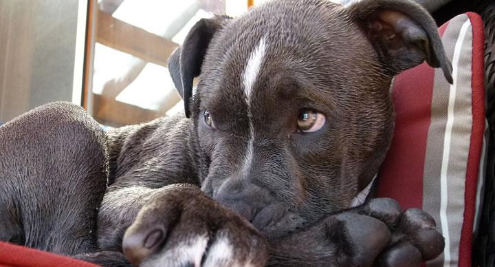 Los perros no son agresivos por raza, destierra ese mito