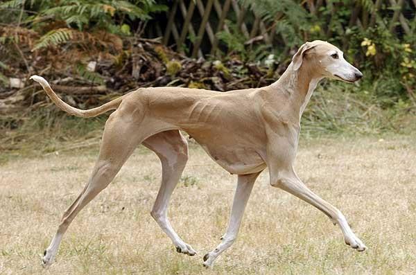 Raza de perro Azawakh