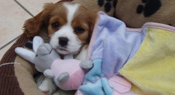 Embarazo psicológico en las perras