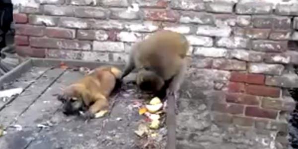 vídeo de un mono haciendo de rabiar a un cachorro
