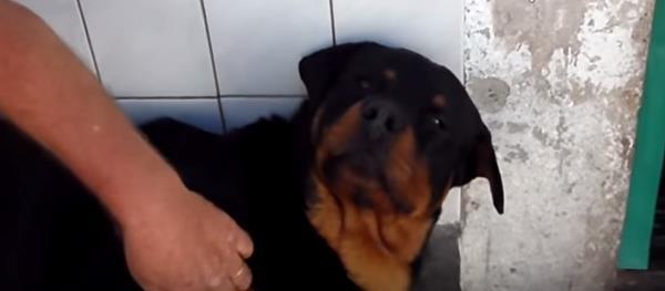 Vídeo de un Rottweiler que muerde a su dueño