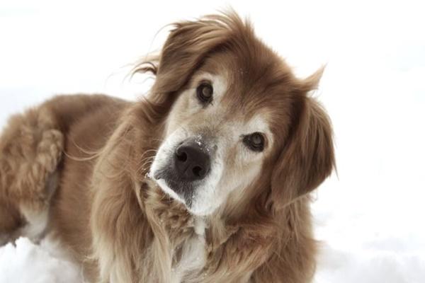 Síndrome vestibular en perros