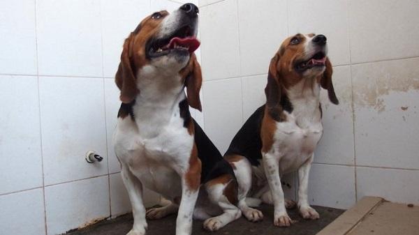 Perros chinos modificados genéticamente