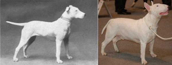 Bull Terrier antes y ahora