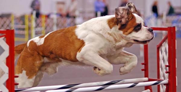 Preparando a nuestro perro para Competiciones Caninas