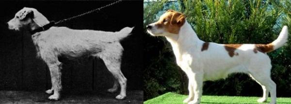 Jack Russell antes y ahora