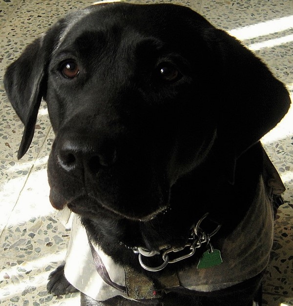 Escándalo de los falsos perros guía en Estados Unidos