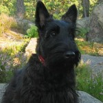 Terrier Escocés (Scottish Terrier)