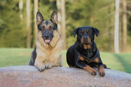 Un puercoespín ataca a dos perros