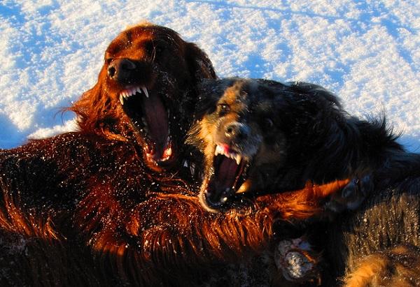 Cómo evitar peleas de perro