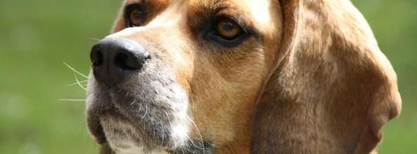 Alarma por leishmaniasis en todas las Razas de Perros en Uruguay