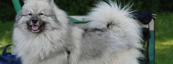 Razas de perros: Los Keeshond