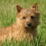 Conoce al Norwich terrier