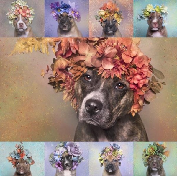 pitbull flores