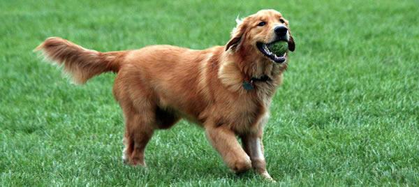 Golden - Perros para casas con Jardín
