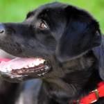 Las 5 mejores razas de perros para tener en casas con jardín
