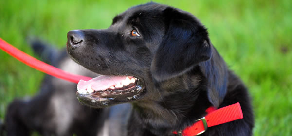 Raza Labrador - Perros para casas con Jardín