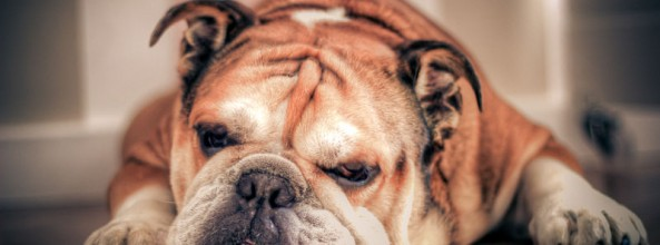 Guía alimentaria de un Bulldog inglés