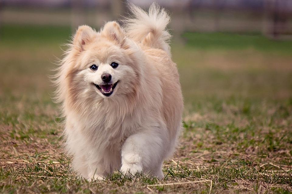 Cómo cuidar a un Pomerania