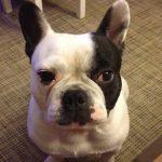 Paco, el Bulldog francés de Maria José