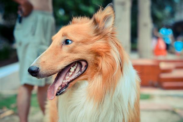 perro-colie