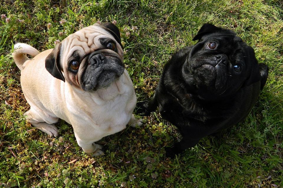 Cómo cuidar a un perro de raza Pug