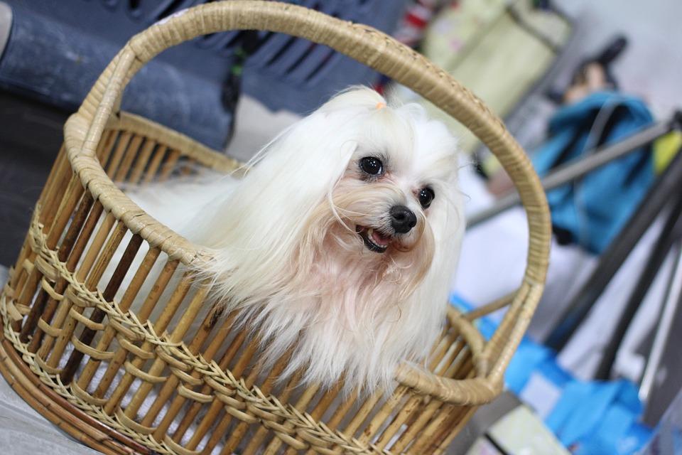 Venta ilegal de perros de raza en Burgos