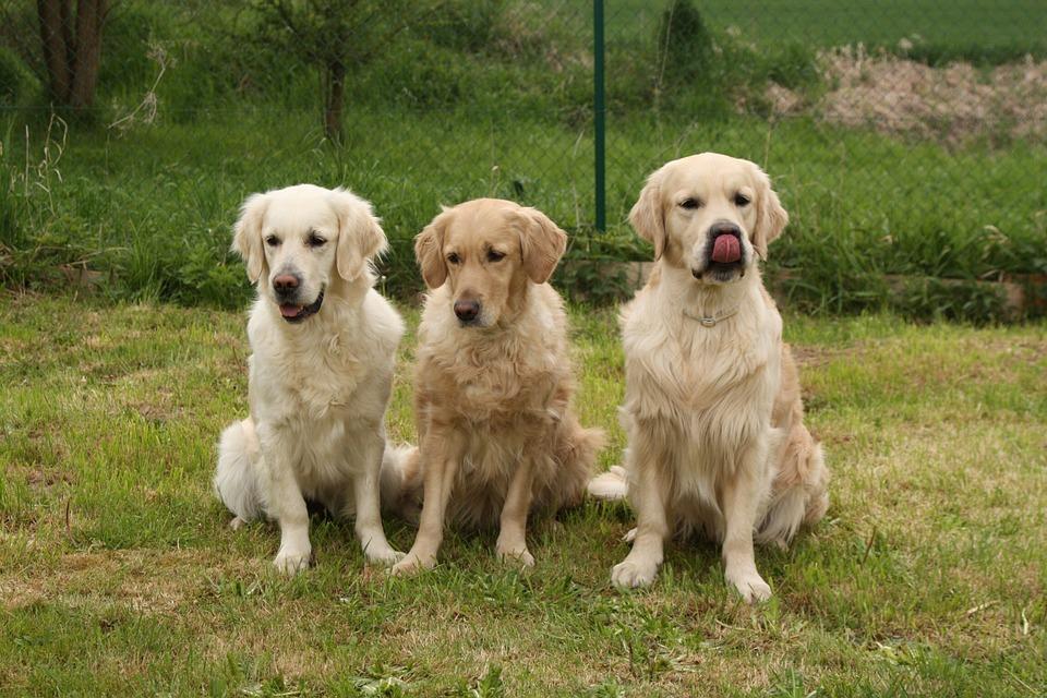 Alimento húmedo orgánico para perros