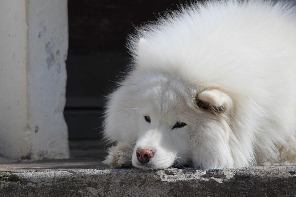 Trucos para cuidar a un perro samoyedo